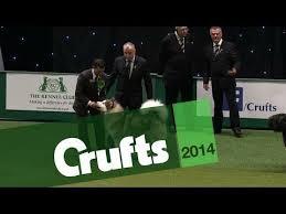 affenpinscher crufts 2014 168 best dog shows images on pinterest animals dogs and dog breeds