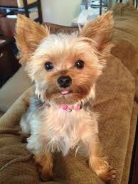 chorkie haircut styles yorkie haircut styles yorkie chorkie pinterest teacup yorkies