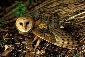 barn owl tyto alba animals a z animals