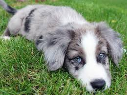 australian shepherd or border collie best 10 australian border collie ideas on pinterest border
