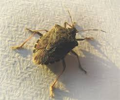How To Check For Bed Bugs At Home How To Get Rid Of Stink Bugs 10 Tips To Control Pests