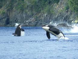 Washington wildlife tours images Orca photo gallery san juan safaris san juan island whale jpg