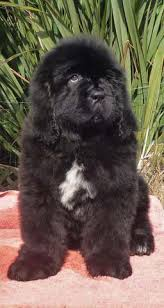 belgian sheepdog puppies for sale uk newfoundland puppies homepage