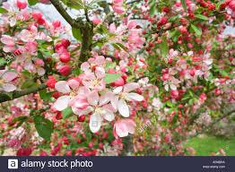 Profusion Flowering Crabapple - a flowering japanese crabapple tree malus floribunda english