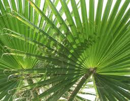 palms for palm sunday churches go green with eco palms ecoki