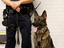 belgian sheepdog rescue texas with two rescue pit bull k9s this north carolina county sheriff u0027s