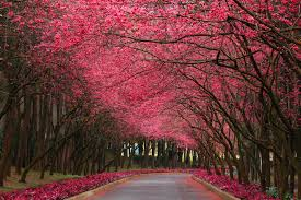 trees with pink flowers pink nature wallpaper in hd with flowering trees in pink hd