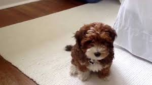 how to cut a yorkie poo s hair meet lil lucy yorkie poo youtube