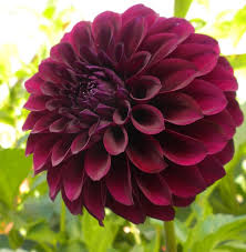 Pictures Of Beautiful Flowers In The World - dahlia most beautiful flowers in the world dr tohid