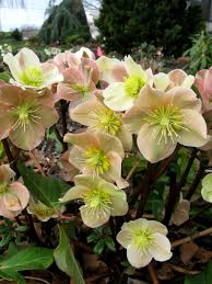 helleborus gold collection u2013 the best of the best