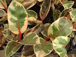 biggest house plants ficus elastica rubber plant our house plants