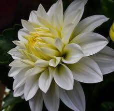 snow white daisy flower bright yellow eye jpg