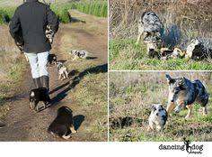 e locus australian shepherd e locus yellows puppy pinterest aussie shepherd australian