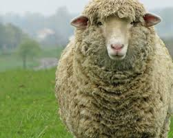 rustic sheep ewe french country farmhouse nursery