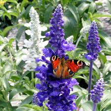 buy 40 plus 20 free large plug plants salvia u0027sea of butterflies