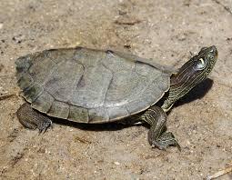 map turtle false map turtle graptemys pseudogeographica amphibians and
