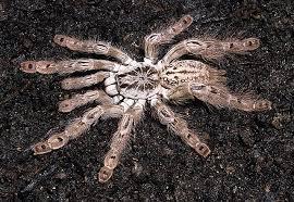 heteroscodra maculata pocock 1899 togo tarantulas bird
