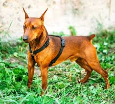 Are All Dogs Colour Blind Miniature Pinscher Dog Breed Information Pictures