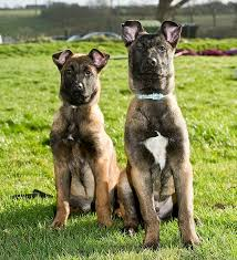 belgian malinois markings pictured the four legged army recruits which will endure tough