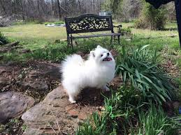 american eskimo dog puppies near me toy american eskimo dogs and puppies for sale