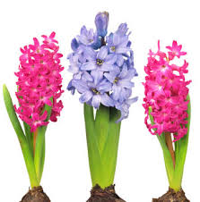 hyacinth flower celebrate an early with hyacinth flowers grower direct
