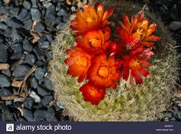 close up image of colorful red pincushion cactus flowers found in