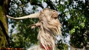 large hair goat large horns free photo on pixabay