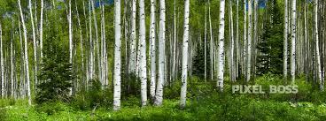 aspen trees emerald grove pixel boss ultra high resolution stock aspen trees emerald grove