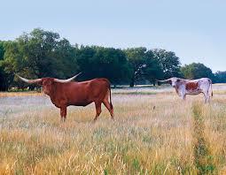 Texas Longhorns Home Decor Dickinson Cattle Co Llc U003e Home U003e Texas Longhorn Celebrity Calendar U003e
