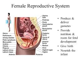 Anatomy Of The Female Reproductive System Pictures Chapter 28 The Female Reproductive System Ppt Video Online Download
