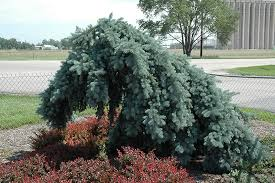 weeping blue spruce picea pungens pendula tree form in