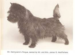 brindle cairn haircut 2801 best cairns images on pinterest cairn terrier cairns and pets