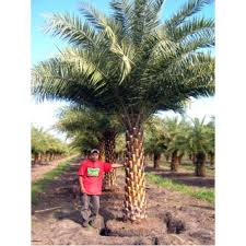 sylvester palm tree sale buy sylvester palm trees in orlando florida