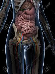 Anatomy Pancreas Human Body 3d Rendered Illustration Of The Female Anatomy Stock Photo