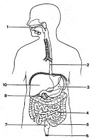 respiratory system diagram sketch for middle respiratory