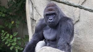 Funny Gorilla Meme - the meme is dead harambe write ins not funny the student printz