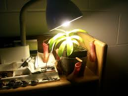 Under Desk Lighting One Of My Carnivorous Plants Growing Under A Desk Lamp In My
