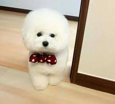 bichon frise instagram 56 likes 1 comments 비숑프리제 토리 bichon tori on instagram