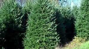fraser fir wholesale christmas trees fraser ridge tree farm