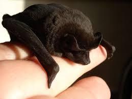 small bat small bat on human bat facts and information