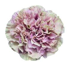 who says carnations are ugly babylon carnation helpful tools