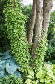 miranda climbing hydrangea monrovia miranda climbing hydrangea
