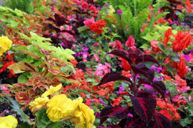 How To Grow Coleus Plants by Caring For Your Coleus Plants Garden Harvest Supply