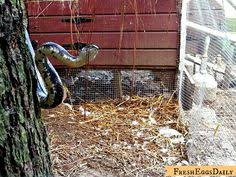 Snake In The Backyard snake in the duck house 6 tips to repelling snakes pest control