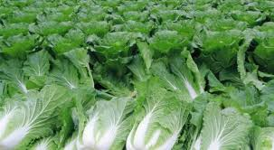 cabbage china cabbage farming information agri farming