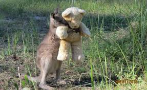 this orphaned baby kangaroo misses his mom so much he just wants