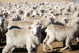 why zegna is getting into the sheep farm business in australia