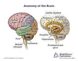 Which Part Of The Brain Consists Of Two Hemispheres Brain Anatomy And Limbic System Brightfocus Foundation