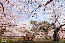 spring has sprung and in japan that means cherry blossoms 8