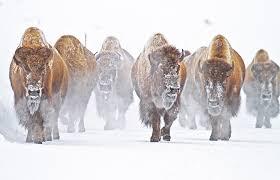 bison restoration